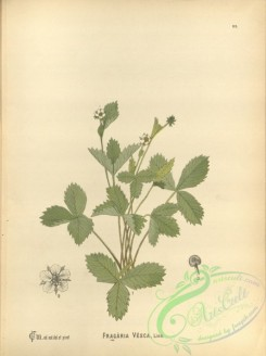 strawberry-00380 - fragaria vesca