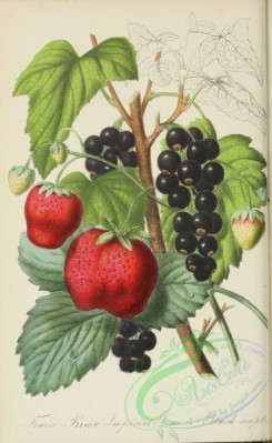 strawberry-00382 - Strawberry, Black Currant