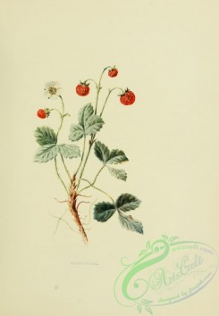 strawberry-00386 - Strawberry, fragaria vesca