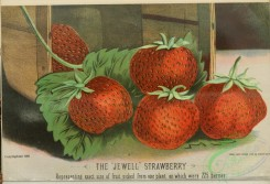 strawberry-00407 - Jewell Strawberry