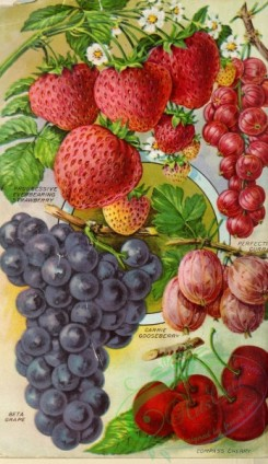 strawberry-00671 - 063-Grapes, Currant, Gooseberry, Cherry, Strawberry