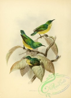 sunbirds-00018 - anthodiaeta collaris