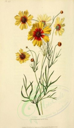 sunflower-00003 - 37-Dyeing Tick-seed Sunflower - coreopsis tinctoria [2001x3450]