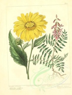 sunflower-00004 - Perennial Sun-flower, Creeping-rooted Hedysarum - helianthus multiflorus, hedysarum obscurum [2348x3089]