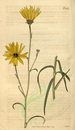 sunflower-00008 - 2051-helianthus angustifolius, Narrow-leaved Sun-Flower [1869x3244]