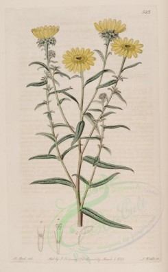 sunflower-00018 - 523-helianthus linearis, Linear-leaved Sunflower of Mexico [2638x4260]
