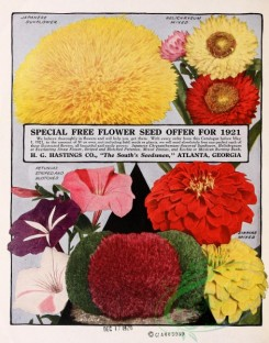 sunflower-00050 - 027-Sunflower, Petunia, Helichrysum, zinnia