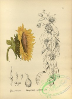 sunflower-00068 - helianthus annuus