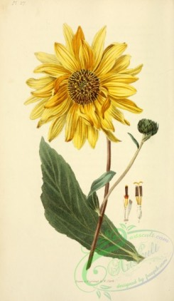 sunflower-00070 - Shagreen-leaved Sunflower, helianthus atrorubens