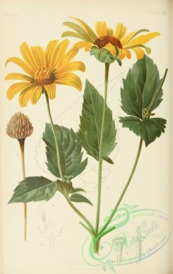 sunflower-00074 - False Sun-flower, heliopsis laevis