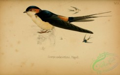 swallows_and_swifts-00036 - cecropis melanocrissus (L)