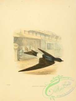 swallows_and_swifts-00043 - Asian House-Martin