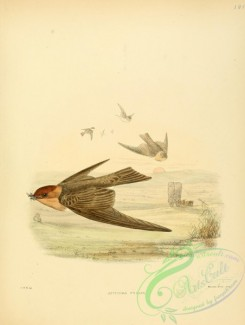 swallows_and_swifts-00046 - atticora fucata