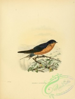 swallows_and_swifts-00050 - Black-and-rufous Swallow
