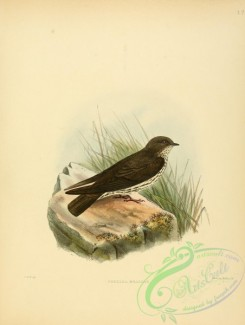 swallows_and_swifts-00053 - Brazza's Martin