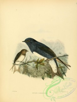 swallows_and_swifts-00055 - Caribbean Martin