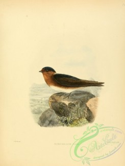 swallows_and_swifts-00056 - Cave Swallow