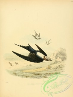 swallows_and_swifts-00057 - cheramoeca leucosternum