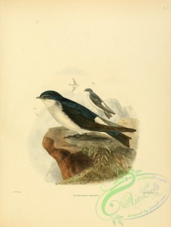 swallows_and_swifts-00058 - Chilean Swallow