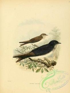 swallows_and_swifts-00063 - Gray-breasted Martin