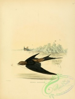 swallows_and_swifts-00065 - Grey-rumped Swallow