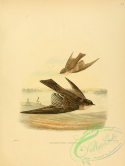 swallows_and_swifts-00087 - Northern Rough-winged Swallow