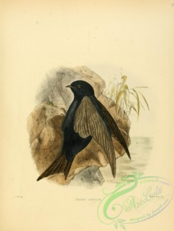 swallows_and_swifts-00095 - progne concolor