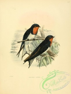 swallows_and_swifts-00100 - Red-chested Swallow