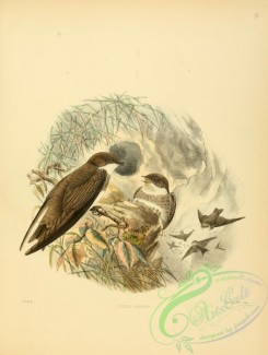 swallows_and_swifts-00104 - Sand-martin