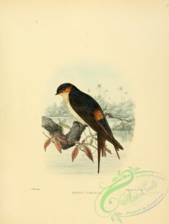 swallows_and_swifts-00117 - West African Swallow