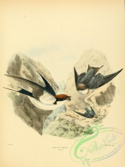 swallows_and_swifts-00123 - Wire-tailed Swallow