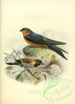 swallows_and_swifts-00124 - Red-rumped Swallow, Black-throated Munia or Jerdon's Mannikin