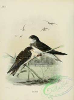swallows_and_swifts-00131 - SAND MARTIN