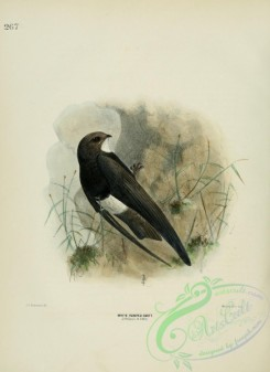swallows_and_swifts-00135 - WHITE RUMPED SWIFT