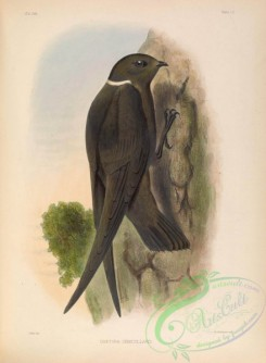 swallows_and_swifts-00144 - chaetura semicollaris
