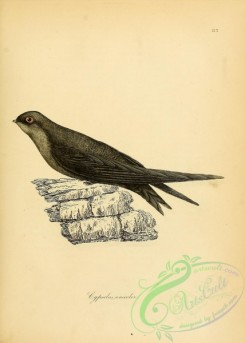 swallows_and_swifts-00150 - Plain Swift