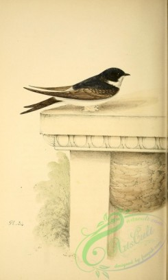 swallows_and_swifts-00155 - Martin