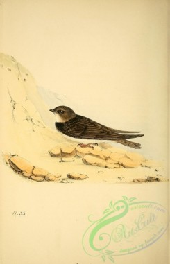swallows_and_swifts-00156 - Sand Martin