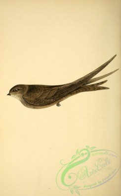 swallows_and_swifts-00159 - Swift