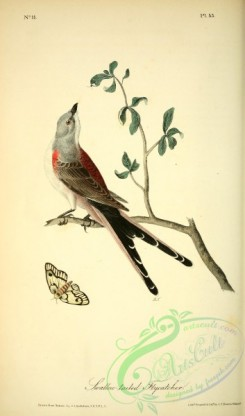 swallows_and_swifts-00166 - Swallow-tailed Flycatcher