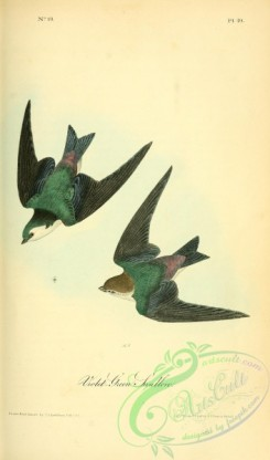 swallows_and_swifts-00167 - Violet-green Swallow
