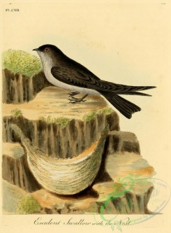 swallows_and_swifts-00172 - Esculent Swallow