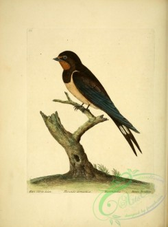 swallows_and_swifts-00176 - House Swallow