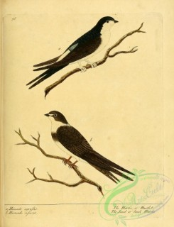 swallows_and_swifts-00177 - Martin or Martlet or Sand or bank Martin