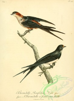 swallows_and_swifts-00182 - 042-Swallow