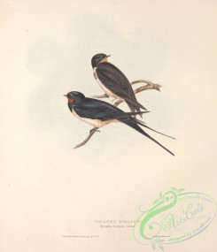 swallows_and_swifts-00198 - CHIMNEY SWALLOW