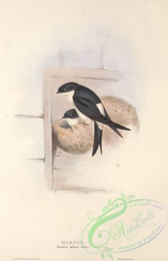 swallows_and_swifts-00199 - MARTIN
