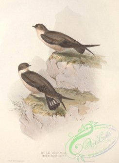 swallows_and_swifts-00200 - ROCK MARTIN