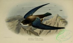 swallows_and_swifts-00209 - 009-NEEDLE-TAILED SWIFT