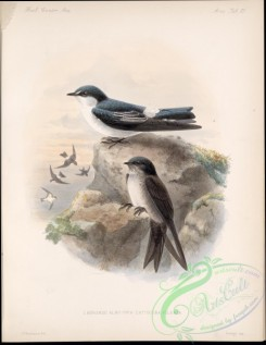 swallows_and_swifts-00217 - hirundo albilinea, Black-capped Swallow
